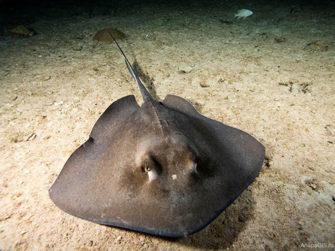 Морской кот - Скат-хвостокол